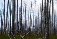 В Житомирській області молодого чоловіка насмерть привалило деревом
