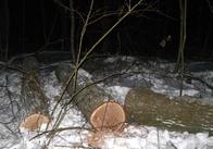 """""""Чорні лісоруби"""" продовжують знищувати дерева на Житомирщині"""