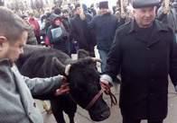 Під обласну раду у Житомирі мітингарі привели корову
