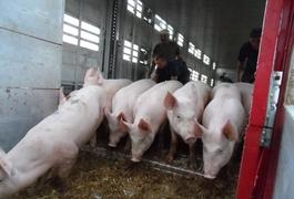 На Житомирщині та ще у двох регіонах забили на третину більше свиней, ніж виростили