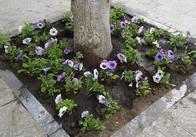 На Михайлівській під деревами посадили квіти