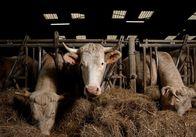 З 2016 року підприємства Житомирщини наростили поголів'я великої рогатої худоби - академік НААН