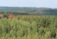 На Житомирщині екологічний надзвичайний стан: всихають сосни