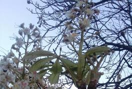 У Житомирі розцвіли каштани. Фото