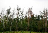 Завтра обласна комісія буде вирішувати, як врятувати сосни у лісах Житомирської області