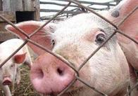 На Житомирщині знову зафіксували захворювання на африканську чуму свиней