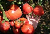 Дачникам на замітку: житомирянка поділилась секретами урожаю величезних помідорів