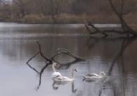 """""""Розважились"""": у Житомирській області вбили лебедя, сімейство якого вигодовували люди. Відео"""