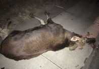 """У Житомирській області """"Мітсубісі"""" збила на смерть лося. Фото"""
