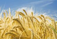 В Житомирській області намолотили 200 тисяч тонн зернових та зернобобових