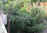 У мешканця Житомирської області виявили велику кількість наркотичних рослин