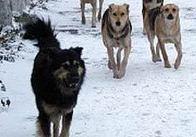 Охота на собак: как избавиться от диких бродячих свор рассказывает заместитель мэра Житомира