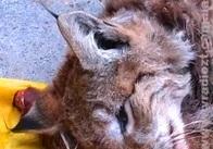 На Житомирщині браконьєри вбили рідкісну тварину. ВІДЕО