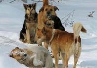 По улицам Житомира стало опасно ходить даже днем. Стаи бродячих собак перешли в нападение