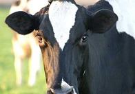 В Житомирській області відродять м'ясне скотарство
